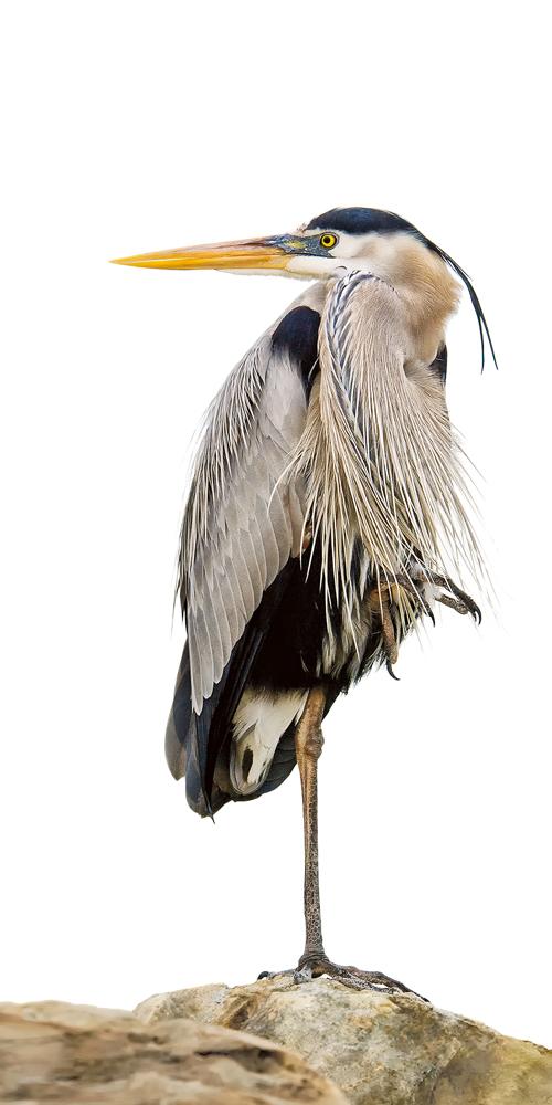 CJ Hockett - Great Blue Heron