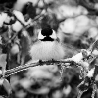 Richard Cofracesco - Chilly-Chickadee