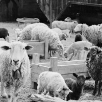 Richard Cofrancesco - Sheep Stare