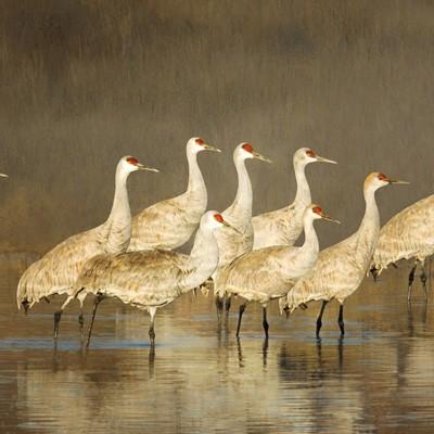 10 Sandhill Cranes