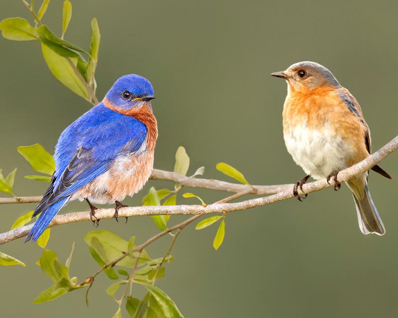 2 Bluebirds