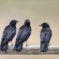 3 Crow Fledglings'