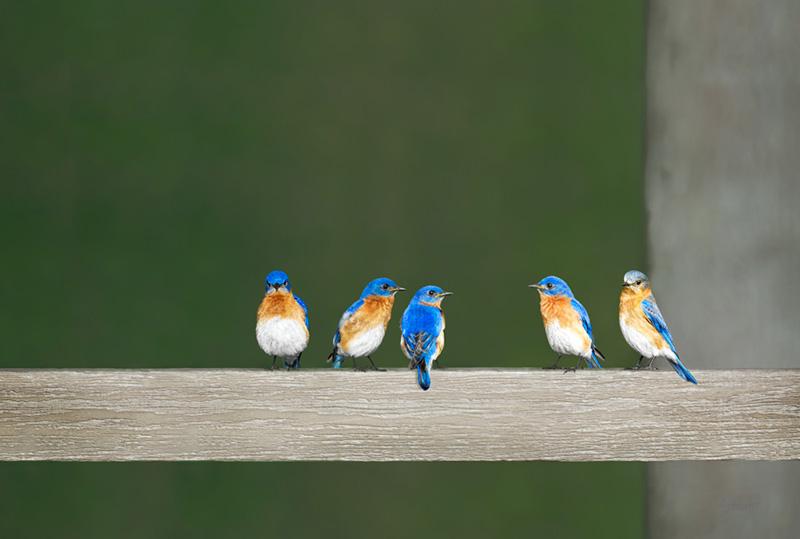 5 Bluebirds