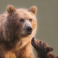 Brown Bear + Cub