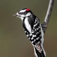 Downy Woodpecker Male