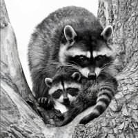 Raccoon & Kit