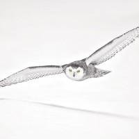 Snowy Owl Flight