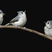Titmouse Trio