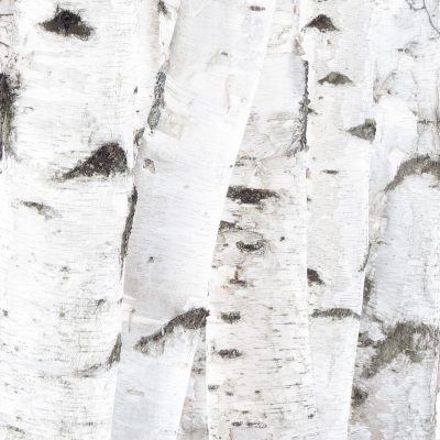 Birch Stems
