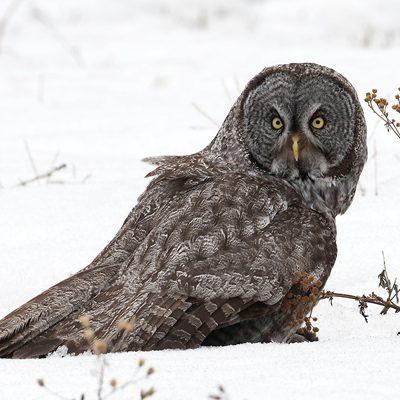Mark Roberts - Great Gray Owl
