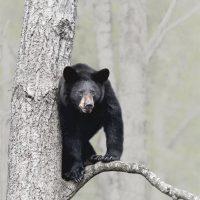 Tree Black Bear