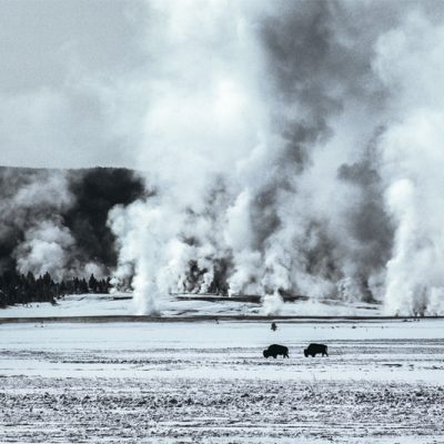 Buffalo, Yellowstone