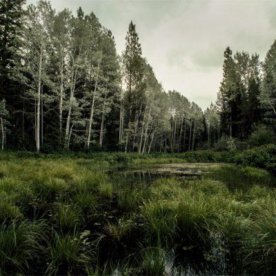 Montana Birches