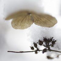 Winter Hydrangea 2