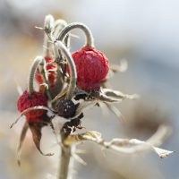 Winter Rose Hips 1