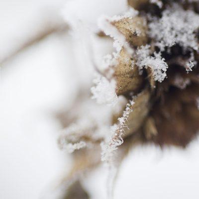 Winter Sunflower 1