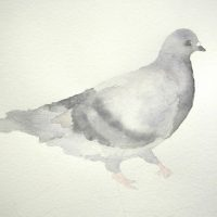 Rock Dove, A Reflection II