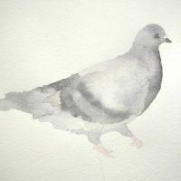Rock Dove, A Reflection II